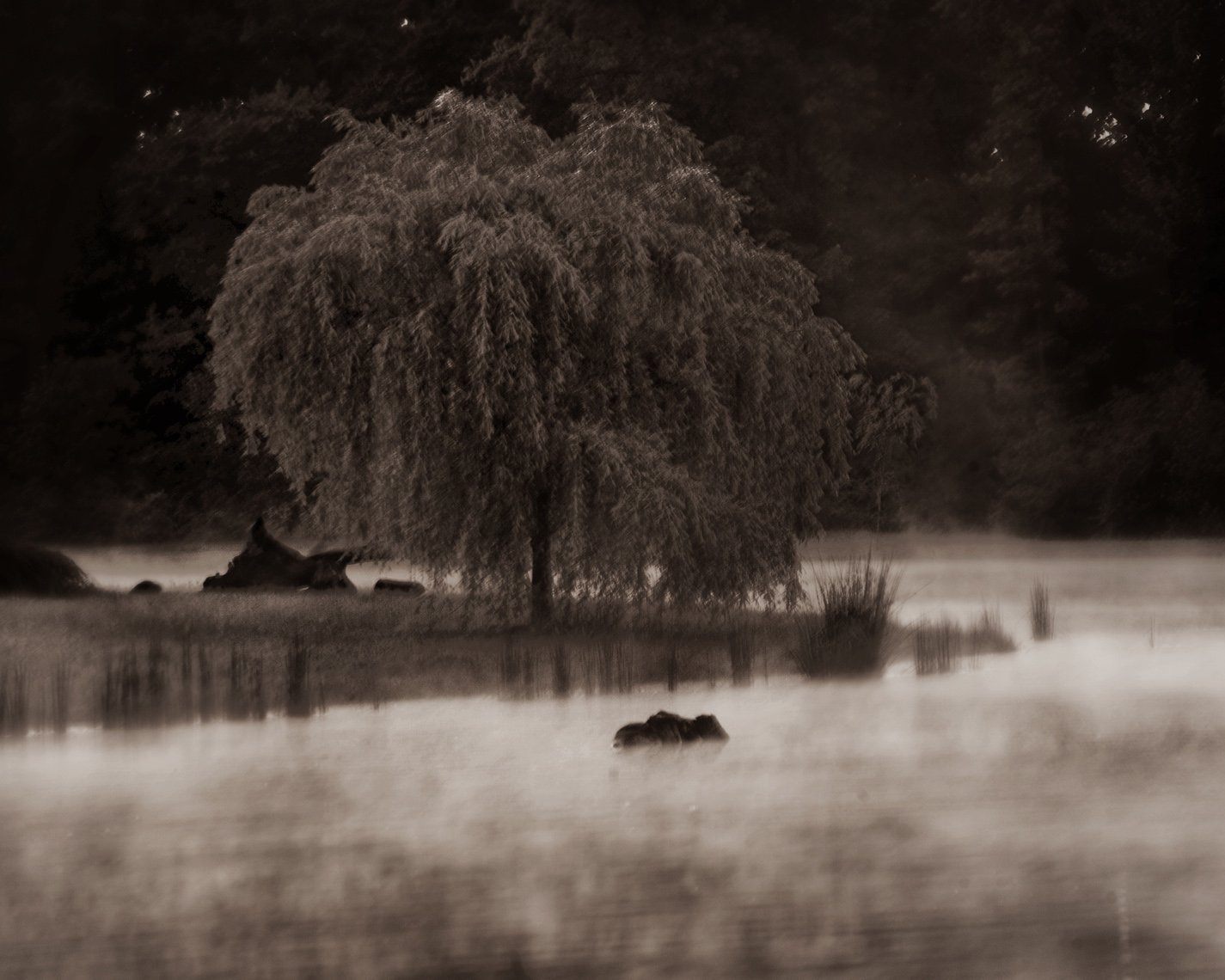 Weeping Willow 1